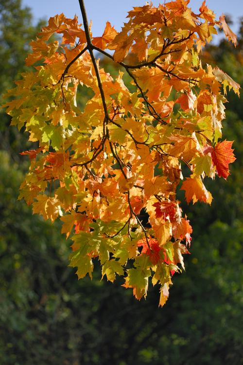 Coeur d'automne, pad