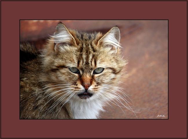 Les chats sauvages du Barcares (Pyrénées-Orientales)