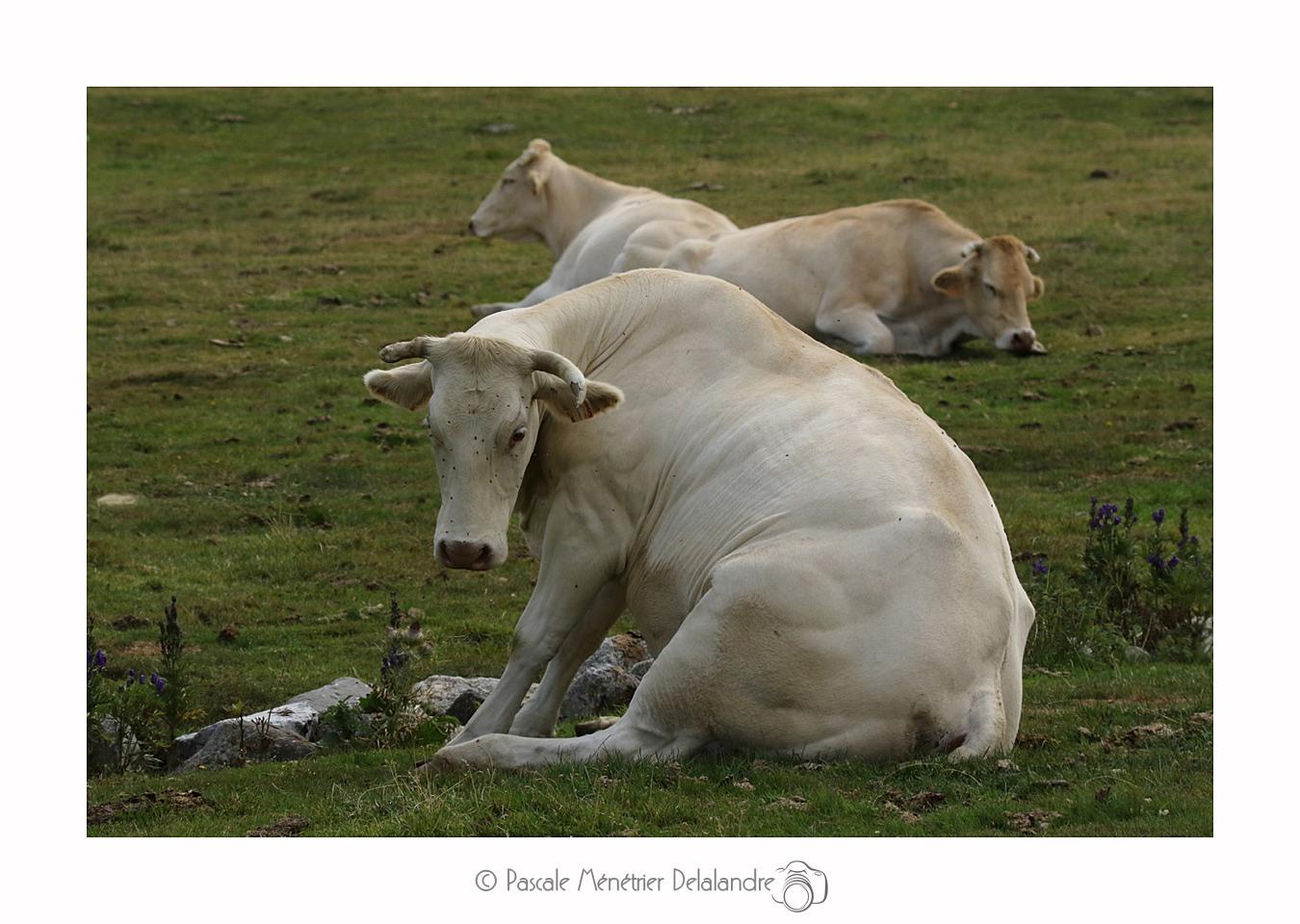 Vaches dans les Hautes-Pyrénées