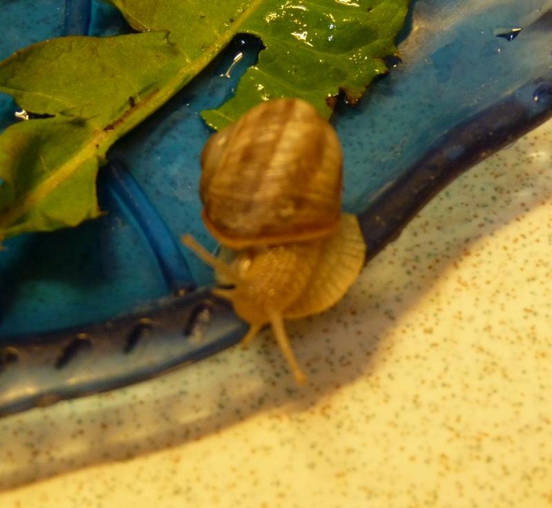 Sauvetage et disparition d'un petit escargot