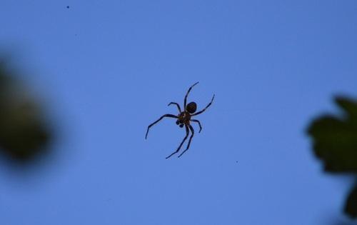 ... araignée volante...?