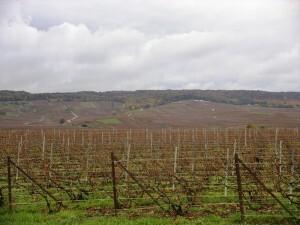 025-Vignoble à Ambonnay