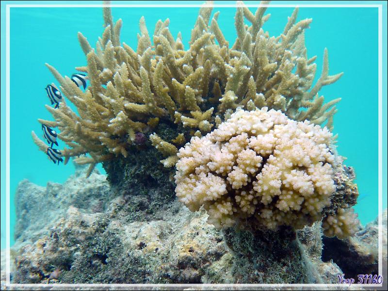 Coraux divers- Pearl Havaiki - Atoll de Fakarava - Tuamotu - Polynésie française
