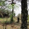 Bénin Comment monter aux cocotiers 1