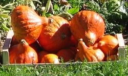 Récolte des cucurbitacées.