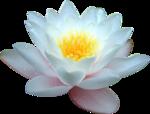 PNG képek: Virágok