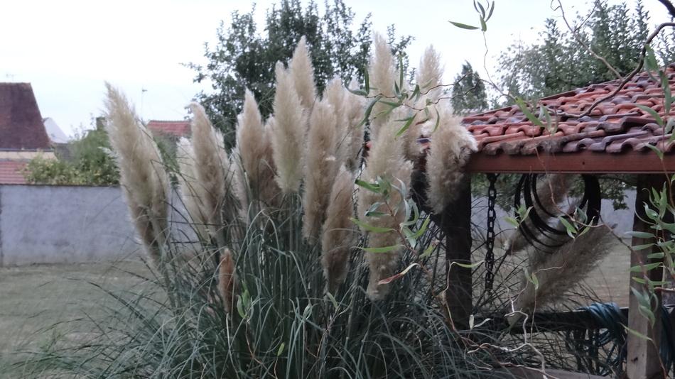 L'Herbe de la Pampa (Cortaderia Selloana)