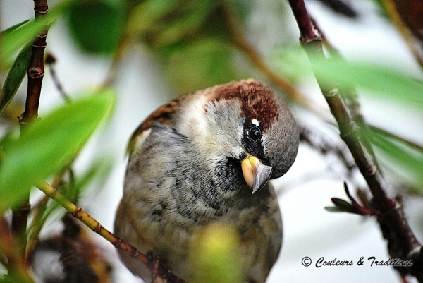 Simple expression de Passer domesticus