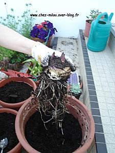 ananas du jardin 08
