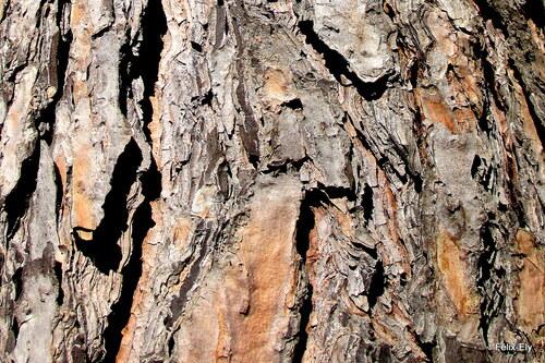 Les écorces du pin