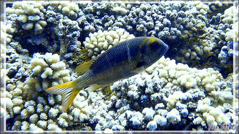 Empereur bossu ou gros yeux ou Daurade tropicale, Humpnose big-eye bream or Bigeye emperor (Monotaxis grandoculis) - Passe Tumakohua - Fakarava sud - Tuamotu - Polynésie française
