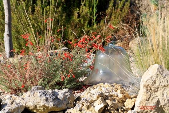 zauscheneria c.'olbrich silver' 2