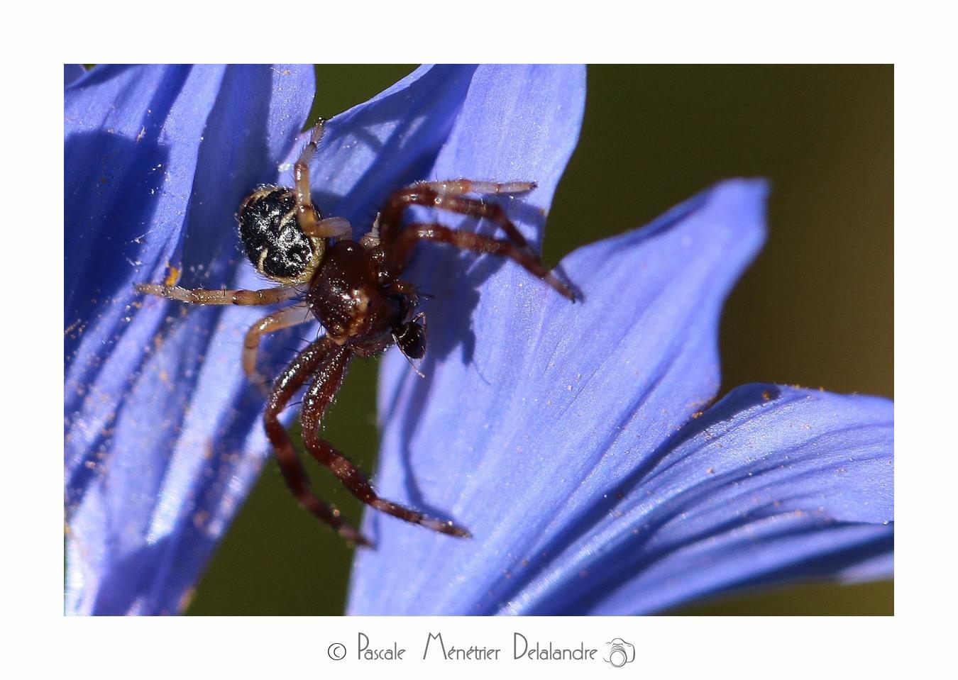 Synema globosum ♀ ( Thomise globuleuse, Thomise globuleux, Araignée-crabe ou Araignée Napoléon) - Thomisidae
