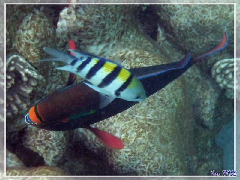 Poisson Perroquet brun, Rusty parrotfish (Scarus niger) - Nosy Tsarabanjina - Archipel des Mitsio - Madagascar
