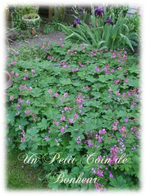 geranium vivace poivre