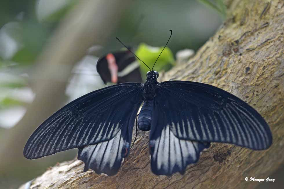 Papilio ascalaphus