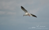 Mouette rieuse - p63