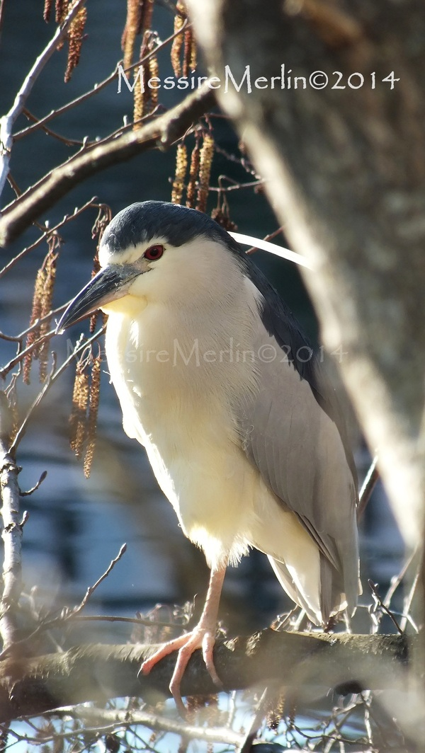 Oiseaux : Le bihoreau gris, Nycticorax nycticorax