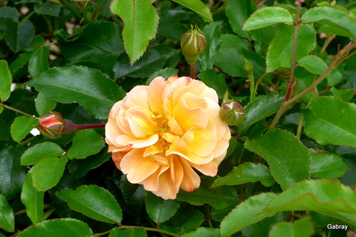 Ma belle rose
