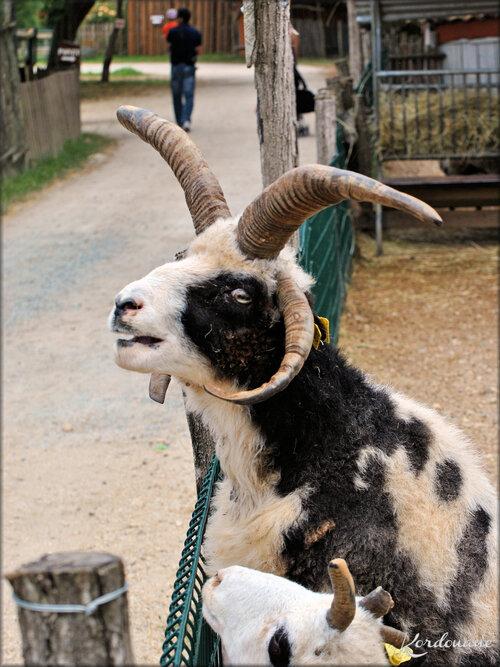 Photo de Mouflons de Jacob (Ferme Exotique-Cadaujac)