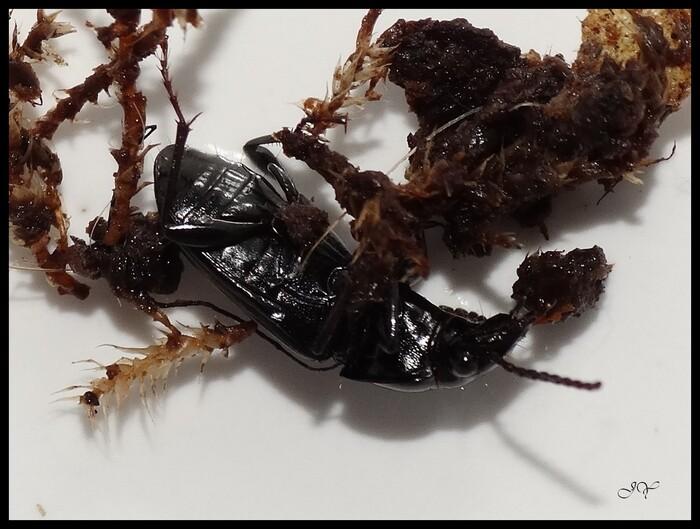 Pterostichus (Pseudomaseus) sp.