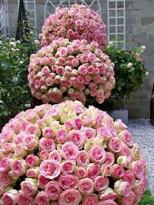 Rose ..