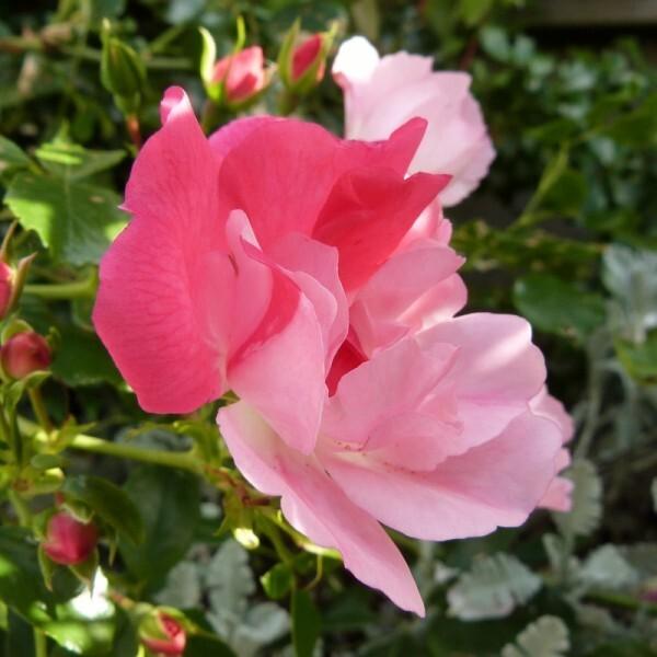 rosier-mareva---juin-2014---rose-bicolore--800x800-.jpg