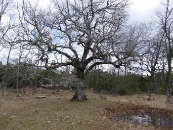 Le chêne de Mistral