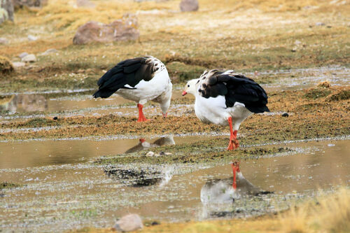 Ouette des Andes (Andean goose)