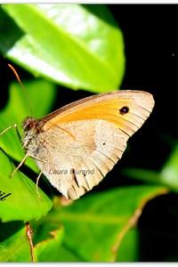 Myrtil ou Maniola Jurtina (femelle)