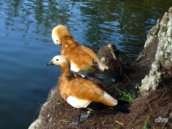 LE CASARCA ROUX (le canard roux)