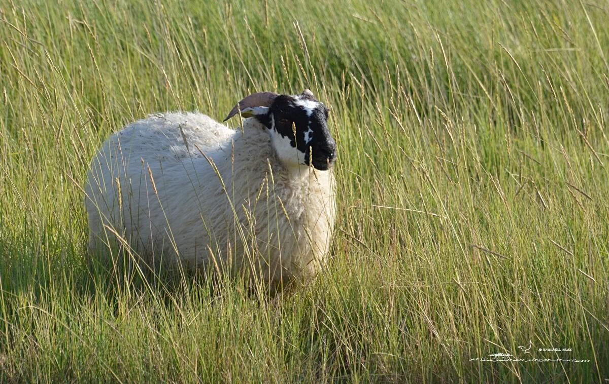 373 - Mouton