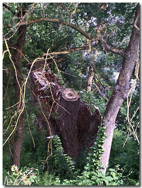 Vieil arbre 3