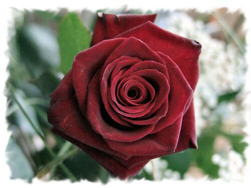 La Rose