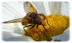 Volucella sp