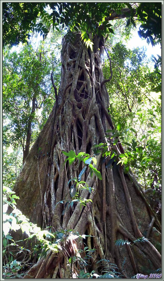 Blog de images-du-pays-des-ours : Images du Pays des Ours (et d'ailleurs ...), Arbre remarquable dans la forêt humide (rain forest) - Rincon de la Vieja - Costa Rica