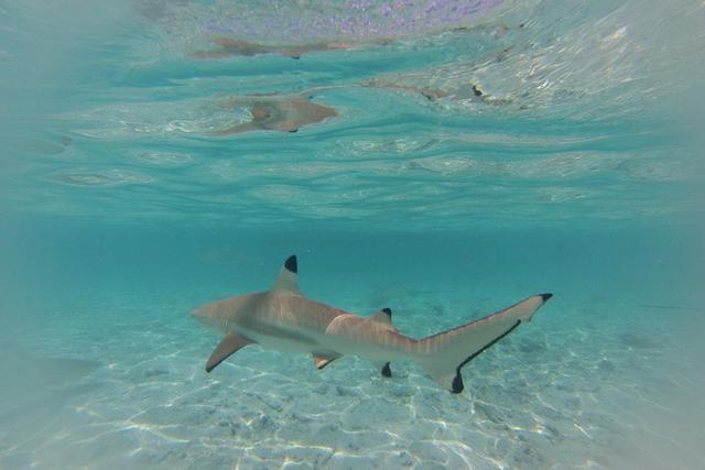 Un nouveau logiciel de la FAO permet de sauver les requins grâce à leurs nageoires