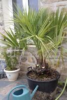 Butia odorata (ex capitata) - palmier abricot