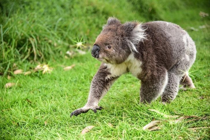 """Les koalas sont sur le point de disparaître, mais tu peux en """"adopter"""" un et ainsi aider à les sauver"""