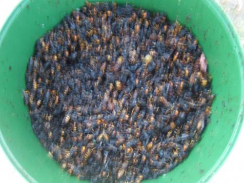 3 semaines de piégeages frelons asiatiques 9kg 500gr