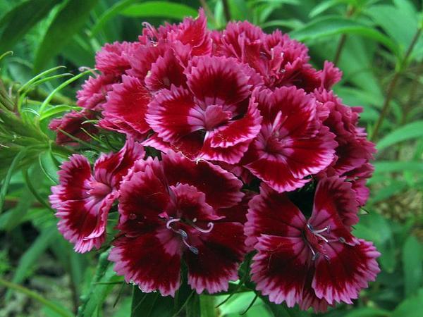 Oeillet de po te dianthus barbatus le temps des fleurs - Oeillets de poete ...