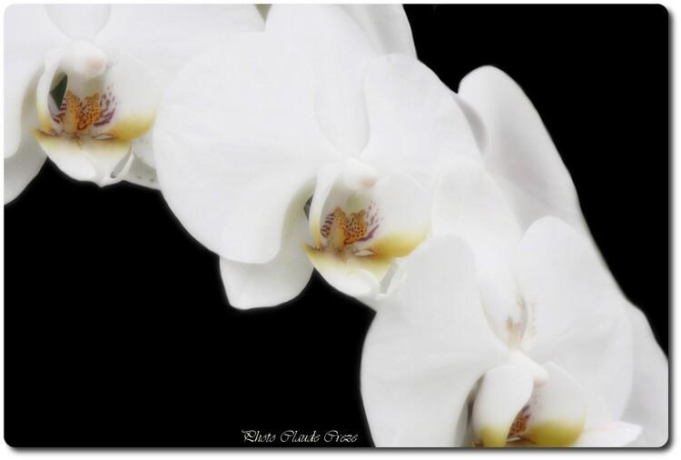 La douceur d'une Orchidée blanche