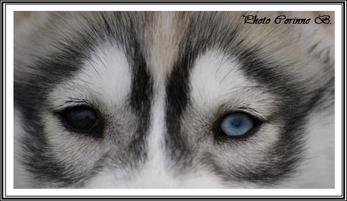 Le Husky a-t-il toujours les yeux bleus ?