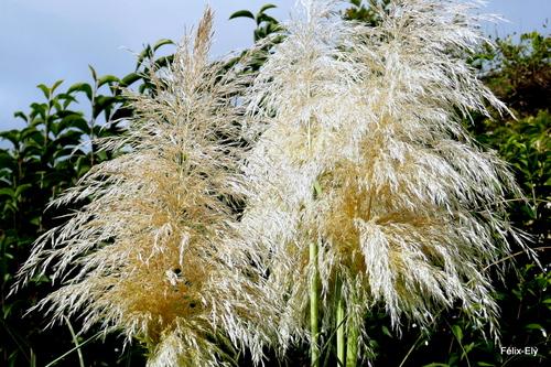 Jolies herbes de la Pampa !