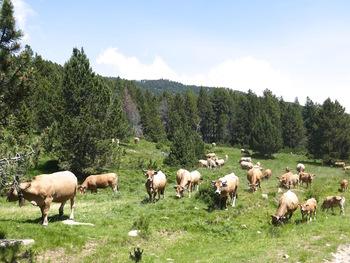Les vaches nous observent
