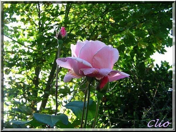 ROSES 1 (6)