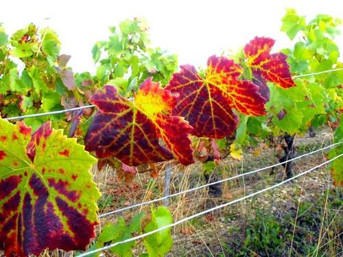 défi d'octobre : l'automne et la vigne