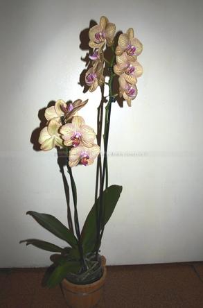 Orchidée_21-9-15 (1)