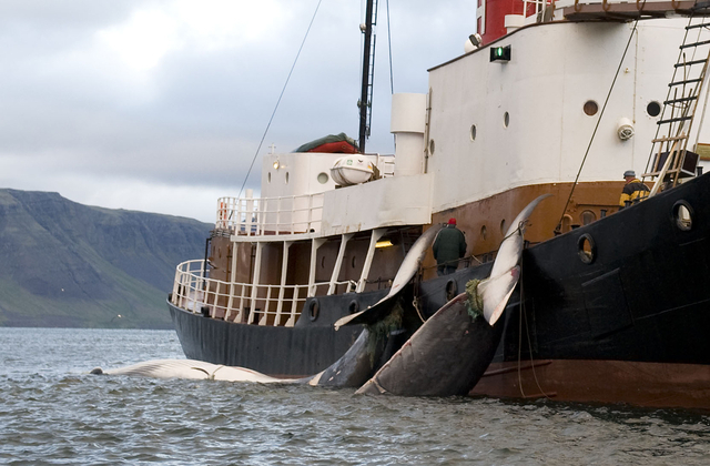 La Norvège veut pêcher 1286 baleines en 2014