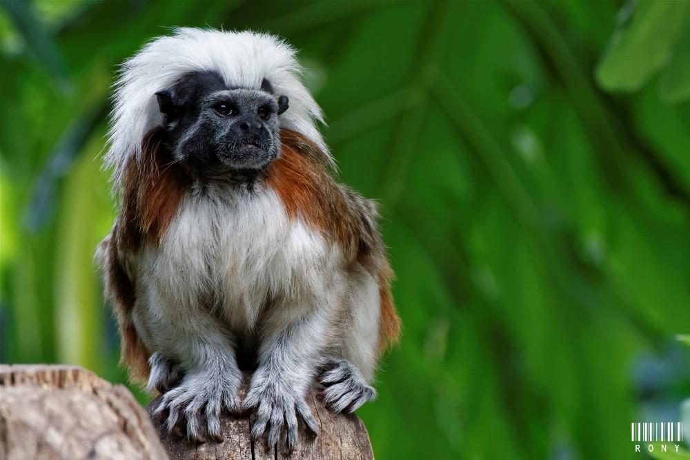 Tamarin : Pinché à crête blanche (Part.2)